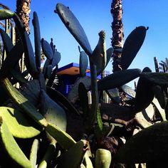 Cactus  #cactus #blue #green#