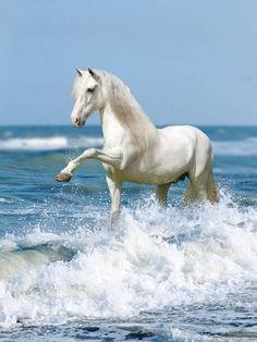 White horse paddling in the sea. Beautiful Horse Pictures, Most Beautiful Horses, Animals Beautiful, Cute Horses, Pretty Horses, Horse Love, Andalusian Horse, Friesian Horse, Arabian Horses