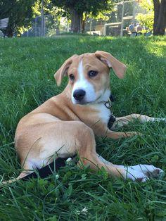 sybil Boxer / Golden Retriever | Pawshake