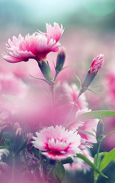 Pink Dianthus - how dreamy are these My Flower, Pink Flowers, Beautiful Flowers, Beautiful Gorgeous, Birth Flower, Pink Carnations, Dianthus Flowers, Morning Greeting, Calla Lilies