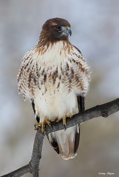 Red Tail by Corey Hayes**