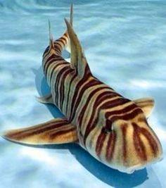 Zebra shark (Stegostoma fasciatum)