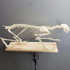 lynx lynx anatomy - Ricerca Google Lynx Lynx, Anatomy, Place Cards, Place Card Holders, Google, Artistic Anatomy