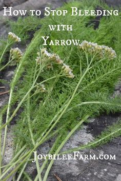 Yarrow is a natural styptic that stops the bleeding of minor wounds almost instantly. Make some styptic powder from dried yarrow leaves.