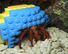 the hermit crab who lives in a lego shell