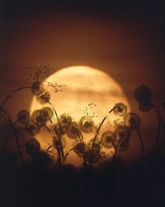 Harvest Moon & Dandelion Wishes Moon Moon, Full Moon, Moon Rise, Harvest Moon, Beautiful Moon, Beautiful Images, Sibylla Merian, Shoot The Moon, Moon Pictures