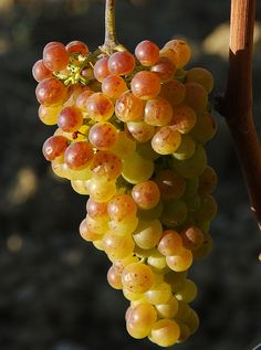Moscato.... Pinterest Favorite: Candoni Wines