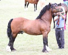 Avonvalley Great Briton [Avonvalley Union Jack x Aldwych Rambling Rose]   Photo Archive Royal Welsh Show Stallion 2013 : Rainhill Welsh Cobs