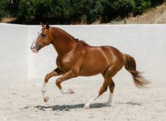 8/☼ Iberian Horses 2007 Andalusian x Thoroughbred Stallion