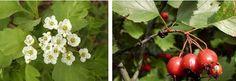 боярышник цветы и плоды