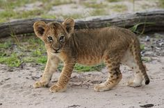 Lion cub in Selous Game Reserve...photo taken by me :)