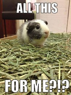 Penelope the guinea pig didn't even know what to do with all that hay!  ☺☺☺  The Best Guinea Pig Food Delivered Fresh to your door!  Click  ❤ http://shop.smallpetselect.com/ ❤  FbookFriends: Use code ✔softNgreen✔ For Free Shipping:
