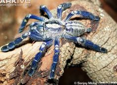 Scientific Name: Poecilotheria metallica  Common Name: Peacock Parachute Spider  Category: Spider  Population: Unknown  Threats To Survival:...