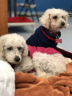 Rosalind is an adorable little Poodle girl from Solano County after being found as a stray along with her sister Viola. They are the cutest pair and will surely show you what makes senior dogs incredible love bugs!