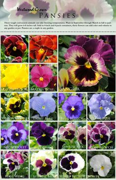 Cool Weather Pansies..... plant in the fall, rebloom in spring! they survive winter!