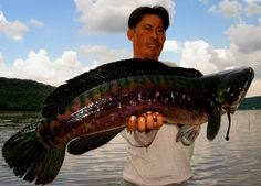 Snakehead fishing holidays at Khao Laem Dam in Thailand in the surroundings of one of Thailand's most beautiful regions and National Parks. Fishing Uk, Fishing Girls, Fishing Life, Kayak Fishing, Fishing Boats, Snakehead Fish, Fishing Holidays, River Monsters, Hunting Season