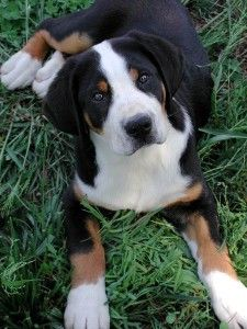 Greater Swiss Mountain Dog - One day!