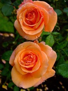 Beautiful Rose Flowers, Unusual Flowers, Amazing Flowers, Beautiful Flowers, Rose Care, Types Of Roses, Coming Up Roses, Rose Pictures, Orange Flowers