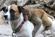 Monkeys love riding on dogs - Sharenator.