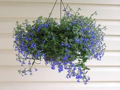 The 10 Best Flowers for Hanging Flower Baskets: Lobelia