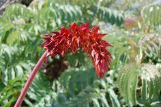 Conoce al Melero, una planta muy decorativa - http://www.jardineriaon.com/conoce-al-melero-una-planta-muy-decorativa.html