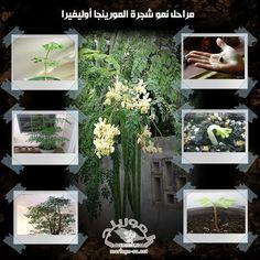 مراحل نمو شجرة المورينجا