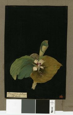 Kaempferia Galanga (Monandria Mongynia), from an album (Vol.V, 88); Round leaved. 1776 Collage of coloured papers, with bodycolour and water...