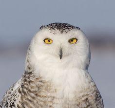 Snowy Owl (Bubo scandiacus) close-up. Photo by Rachel Bilodeau. Location: Quebec, Canada.
