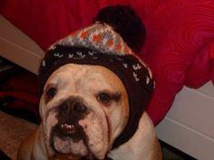 Funny Dog (English Bulldog) wears all my hats!