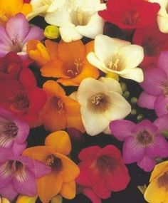 Single Freesia Mixture - Freesias - Indoor Bulbs - Flower Bulb Index