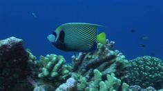 Emperor Angelfish, Stone Coral, Striped (Pattern), Rangiroa, South Pacific, Tropical Fish, Coral Reef, Beauty in Nature, Sea Life, Swimming, 1 (Quantity), No People, Stock Footage,