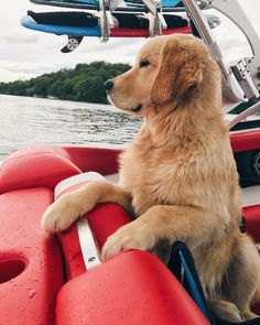 Boat days are my favourite #goldenretriever