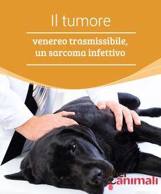 Il tumore venereo trasmissibile, un sarcoma infettivo   Il #tumorevenero #trasmissibilecanino (CTVT) è un tipo di tumore #contagioso che i cani si trasmettono attraverso il contatto #sanguigno. #Salute