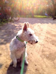 Sunshine Fox-Terrier Anton