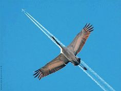 Canada Goose flying along a contrail