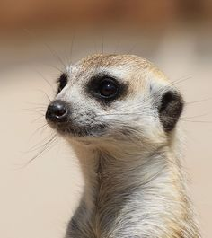 Meerkat makes me laugh!