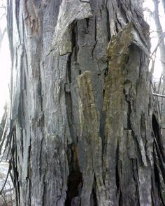 Hickory extract, made from the bark, is recognized as being used by Native…