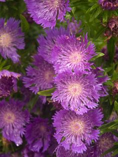 Stokesia Purple Parasols (Cornflower Aster)/ ATTRACTS: Monarch Butterflies.
