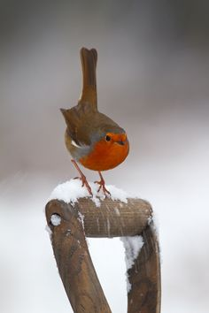 A Snow Robin (Erithacus rubecula) poised on a fork handle after heavy snowfall #nature #photography""