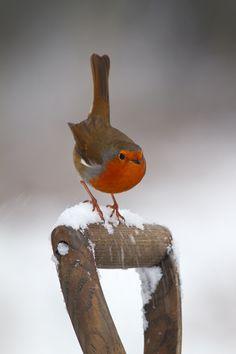 "European robin (Erithacus rubecula) ""Snow Dance"" by Simon Roy Pretty Birds, Love Birds, Beautiful Birds, Animals Beautiful, Cute Animals, Snow Dance, Photo Chat, Kinds Of Birds, Little Birds"