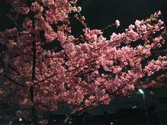 職場の近くの寒桜は散り始めた。