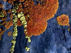 Lichen on Slate - Photograph by Sylvia Sharnoff - Slate yields to brilliant lichens in Merced Falls, California.