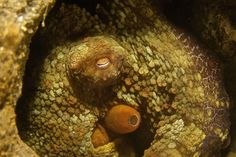 """Cat Eyes"" (Octopus), La Jolla Shores, by Ed Campbell"