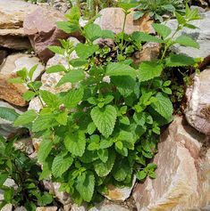Meduňka se někdy nekontrolovatelně rozroste. Citronella, Potpourri, Parsley, Pesto, Herbs, Nature, Plants, Gardening, Fitness