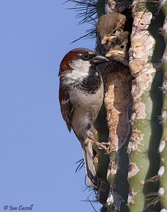 Sparrow in cactii Birds Taking Care Of Their Babies'