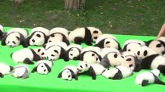 23 Baby Pandas Have Just Made Their Public Debut And The World Is Going Crazy Over Their Cuteness.