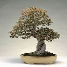 Lost Pomegranate Bonsai Tree, have you seen it?