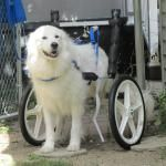 #Tripawd Tips for Using Wheelchairs and Carts