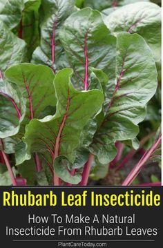 Make insecticide from rhubarb leaves which contain oxalic acid makes an great effective natural pesticide spray for leaf eating insects. [LEARN MORE] Natural Insecticide, Natural Pesticides, Garden Tips, Garden Ideas, Growing Vegetables At Home, Oxalic Acid, Christmas Lanterns, Garden Pests, Gardening Hacks