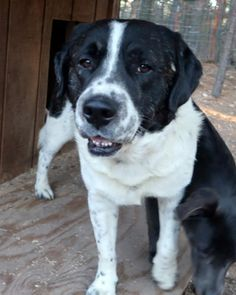 Cable/Australian Shepherd / Labrador Retriever / Mixed::Male::Adult::Large |Unconditional Love Pet Rescue | 13 Stoppel Road, Eureka Springs, AR 72632  Contact Us:Phone: (870) 577-3744 | Email:diane@ulpr.org